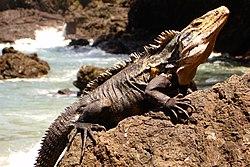 Un cténosaure noir, mâle, sur un rocher. On voit bien la crête sur son dos et les épines sur sa queue.