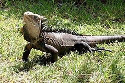 Iguana delicatissima - La Désirade 02.jpg