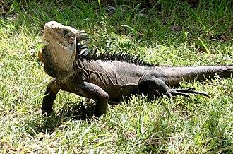 La Désirade - Iguana Delicatissima