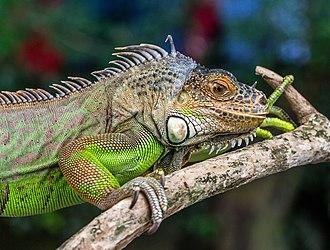 Gembira Loka Zoo - Image: Iguana iguana, Gembira Loka Zoo, Yogyakarta, 2015 03 15 02