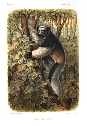 Indri - Drawing by Alfred Grandidier