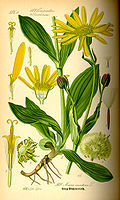Illustration Arnica montana0.jpg