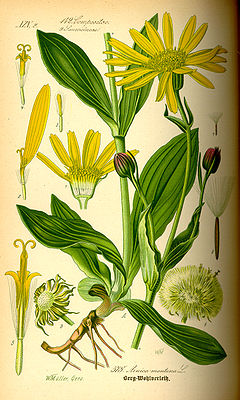Arnika (Arnica montana), Illustration