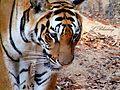 Indian Tiger in Bannerghatta.jpg