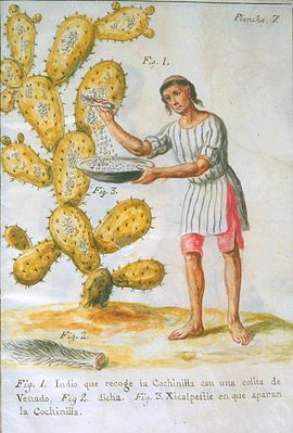 Collecting scale insects from a prickly pear for a dyestuff, cochineal, 1777