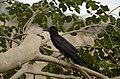 Indian jungle crow (Corvus culminatus) from Thiruppainjeeli JEG0190.jpg