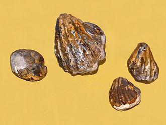 Praecardioida - Fossil Inoceramus (Actinoceramus) sulcatus from Albian age of England at Galerie de paléontologie et d'anatomie comparée, Paris