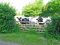 Inquisitive cattle at Rendham - geograph.org.uk - 184902.jpg