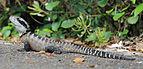 Intellagama lesueurii lesueurii, Eastern Water Dragon, Manly, Australia.jpg