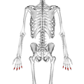 Intermediate phalanges of the hand 02 dorsal view.png