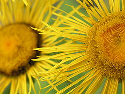 meaning of inula