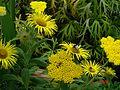 Inula hookeri - Flickr - peganum.jpg