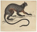 Jacchus rufiventer - 1845-1848 - Print - Iconographia Zoologica - Special Collections University of Amsterdam - UBA01 IZ20200017.tif