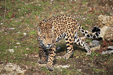 Jaguar (Panthera onca) Zoo Salzburg 2014 c.jpg
