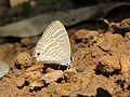 Jamides celeno - Common Cerulean mud puddling at Peravoor (11).jpg