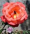 Jardim do Roseiral (Palácio de Cristal) - Rosa 2.JPG