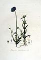 Jasione montana — Flora Batava — Volume v6.jpg