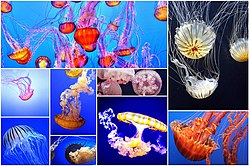 Jellyfish collage.jpg