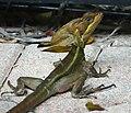 Jesus Lizard in PBC.jpg