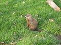 Jielbeaumadier marmotte commune 3 mtl 2006.jpeg