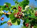 Jostabeerenblüten.jpg