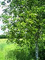 June Fruits Farming California Walnut - Master Seasons Rhine Valley 2013 - panoramio.jpg