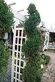 Juniperus chinensis Spearmint 0zz.jpg