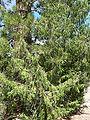 Juniperus scopulorum 1.jpg