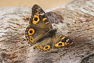A medium-sized butterfly rests on some bark; it has brown wings with a few small spots of blue within black circles within large yellow rings.
