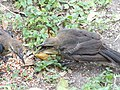 Juvenile Great-Tailed Grackles squawking for food 1.jpg