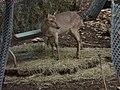 Juvenile Vietnam Deer (2380418546).jpg
