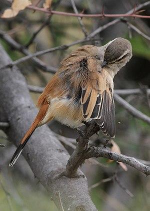 Kalahari scrub robin - Image: Kalahari scrub robin, Erythropygia paena at Pilanesberg National Park, Northwest Province, South Africa (17267593228)