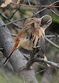 Kalahari scrub robin, Erythropygia paena at Pilanesberg National Park, Northwest Province, South Africa (17267593228).jpg