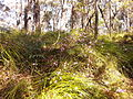Kalianna Ridge Track as it climbs from Yadboro River to Kalianna Ridge, Budawang National Park 038.jpg