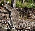 Kangaroo with itch.jpg