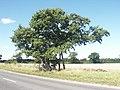 Kett's Oak, Hethersett - geograph.org.uk - 45389.jpg