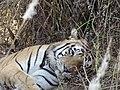 Khana tiger.jpg