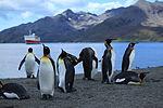 King Penguins at St. Andrews Bay, South Georgia (5849341108).jpg