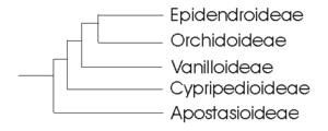 Kladogramm der Familie Orchidaceae