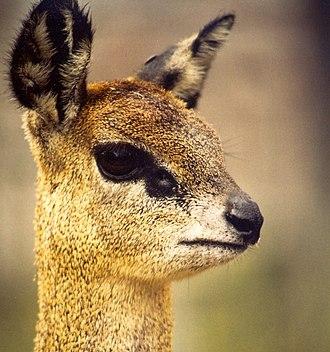 Klipspringer - head of female