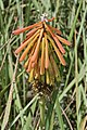 Kniphofia cf. laxoflora (Xanthorrhoeaceae) (6932190685).jpg