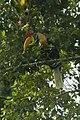 Knobbed Hornbill - Sulawesi MG 3687 (16407561602).jpg