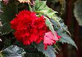 Knollenbegonie (Begonia) (15486735201).jpg