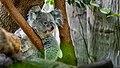 Koala - Flickr - Konrads Bilderwerkstatt.jpg