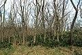 Korina 2013-03-18 Mahonia aquifolium 14.jpg