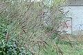 Korina 2017-04-02 Amorpha fruticosa.jpg