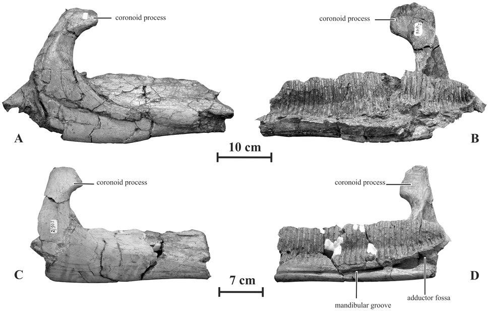 Kundurosaurus dentaries