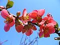 Květ Kdoule 02.JPG