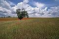 L'antica quercia.jpg