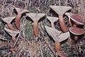 Lactarius rufus, red milkcap or slayer, Llyn on Reservoir, 1979 (25386093959).jpg